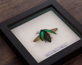 Jewel Beetle in Black Wooden Frame | Sternocera Ruficornis | Real Framed Insect | Taxidermy