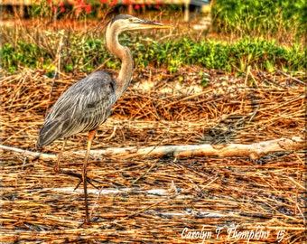 Blue Heron, Beach, Saw Grass, Ocean, Hilton Head, Photography