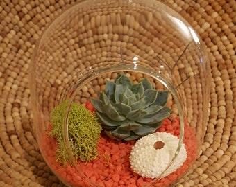 Succulent Terrarium , sea urchin, moss, DIY kit, Hanging globe