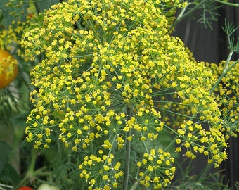 Dill, Mammoth  55+ Seeds