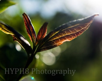 Summer Leaf - Photography Print, Nature Photography, Colour Photography