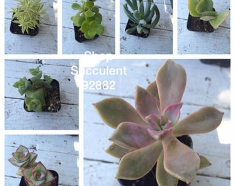 """Potted Succulents - 12 Beautiful 2"""" POTTED Assorted Succulent plant Collection, plastic pots Great for WEDDING FAVORS, gifts and +"""