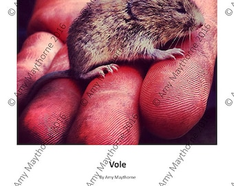Vole - A4 Print