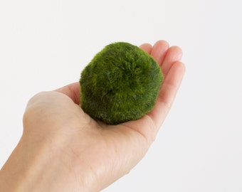 Gigantic Marimo Moss Ball