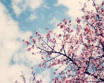 Cherry tree, blossom photography, nature photography, landscape, art photography, home decor