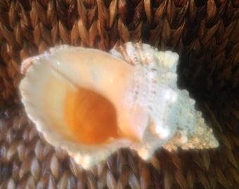 Large Conch Shell Frog Shell (Bursa Bulba) tan cream white peach pink