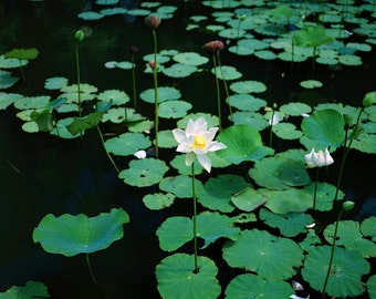 Water lily - photograph of Olivier Vanhoeydonck