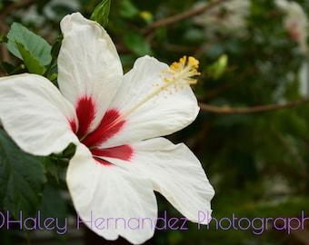 Hibiscus Flower Photo