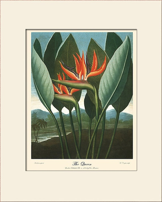 Botanical Print, Bird of Paradise Flower, Temple of Flora, Thornton, Art Print with Mat, Natural History Illustration, Wall Art, Wall Decor