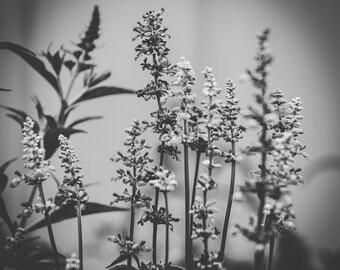Salvia - Fine Art Photographic Print