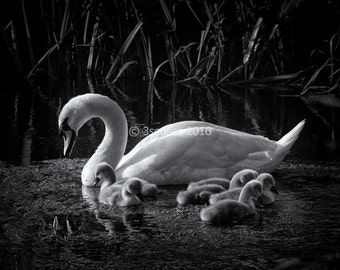 Fine Art Photograph 'Swan with Cygnets'