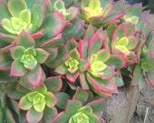 Aeonium 'Kiwi' succulent live plant