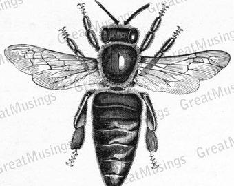 Vintage Bee diagram Black and White digital illustration Image Transfer graphics No.0059