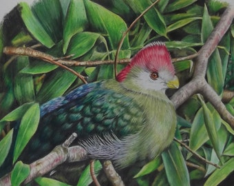 Turaco - Original Drawing in Coloured Pencil