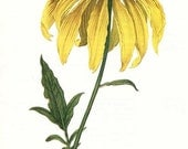 PRINT SALE 20% OFF Vintage 1960's Rudbeckia laciniata Botanical, Floral Bookplate Print for Framing, Yellow Daisy, Cone flower