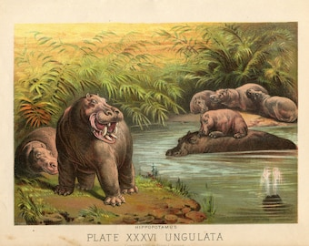 Antique Print of Hippos Hippopotamus Color Lithograph 1880s Johnson's Household Book of Nature