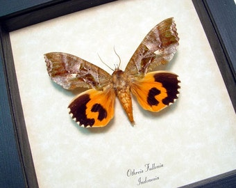 Real Framed Othreis Fullonia Fruit Piercing Moth 1105