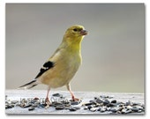 Goldfinch Photograph 8x10 Fine Art Photo Yellow Bird Winter Colors Songbird Nature Wildlife Art Gift for Bird Lover Under 30