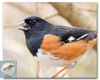 Bird Photography 8x10 Towhee Photo Songbird Fine Art Closeup Wild Bird with Seed Nature Photograph Early Spring Wall Decor for Bird Lover