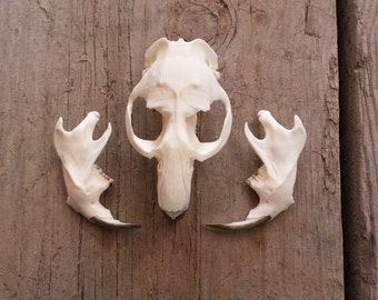 Muskrat Skull- Onadatra zibethicus- Collector Quality - One Skull Stock No. MRSCQ