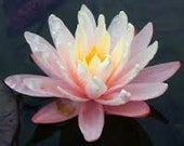 1 oz Waterlily and Lotus Blossom Fragrance Oil
