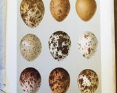 1895 Smithsonian Bird Egg Print - Antique Lithograph -  Speckled Brown Caracara,  Osprey Eggs         -11