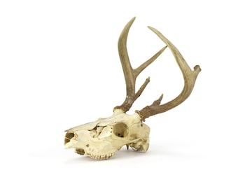 vintage large deer skull