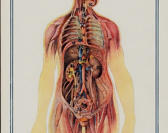 1940 vintage anatomical chart, vintage anatomy print, anatomy chart, insides, internal organs