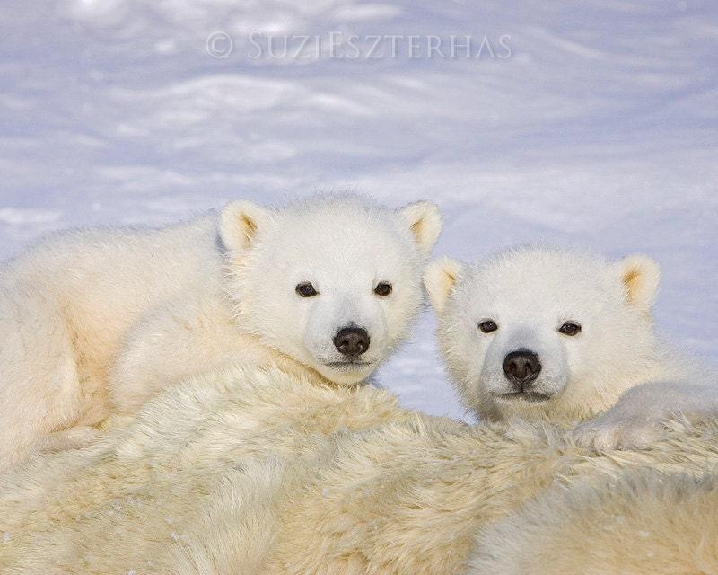 baby polar bears photo print baby animal photograph wildlife