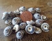 Mini Black & White Spiral Sundial Shells for Arts/Crafts, Decor- Seashell home decorating/ Heliacus snails