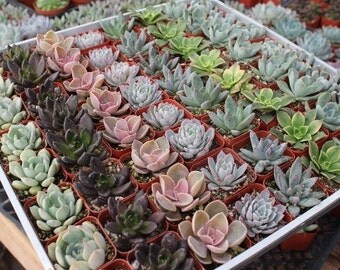 "SAMPLE 1 Beautiful 2"" Rosette Succulent plants Collection plastic pots succulents great for WEDDING FAVOR & gifts or samples+"