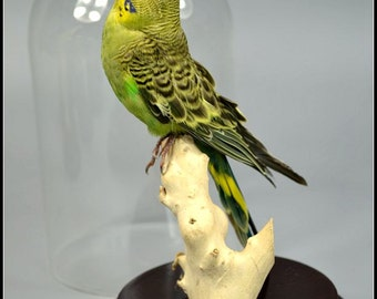 real birds taxidermy of  green budgerigars mounted in base,cool gift,free shipping