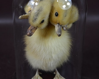 taxidermy of 5 head freak duckling made by 5 ducklings mounted with case