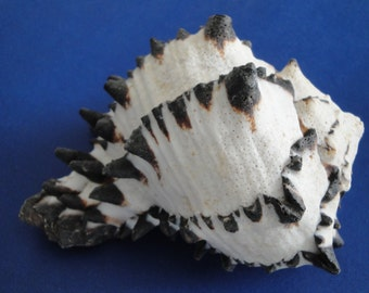 "Sea Shell Seashells 5"" Murex Radix Shell"