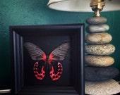 Butterfly Taxidermy- Butterfly Art, Butterfly Decor, Framed Butterfly, Butterflies, Taxidermy Art, Insect Art, Curio, Entomology