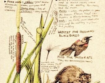 Cattail Botanical Illustration