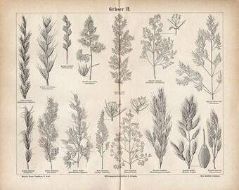 Antique 1885 BOTANICAL Art Print grains wheat illustration vintage collectible print Vintage Inclination 19 (home decor)
