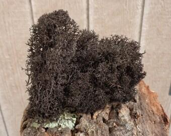 Reindeer Lichen-Black