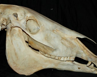 HUGE MULE Skull Horse Donkey Hybrid Draft Taxidermy Bones RARE Unique