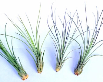 Air Plant Small Juncea Mix of 4