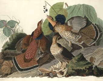 John James Audubon Reproductions - Ruffled Grouse. Fine Art Print.