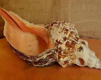 Large Triton Shell Trumpet Horn