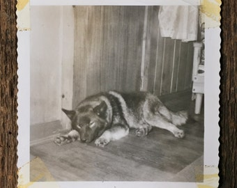 Original Vintage Photograph Sleeping Watchdog
