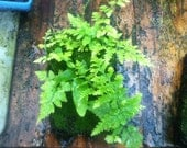 """Mini """"Living Wall"""" of Ferns and Mosses- tropical live house plant collection"""