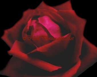 Rose photography Red Rose Matted Picture Art Print A589 black pink fusia red