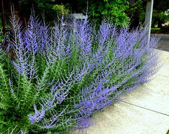 Russian Sage, Perovskia, 25 seeds, fluffy blue border, silver foliage, fragrant  flowers, drought tolerant, deerproof, butterflies, hummers