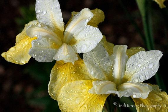 Photo, Fine Art, Yellow Siberian Irises, Photography, Floral, Botanical, Nature Lover, Garden, Gift Ideas, Living Room Decor, Home Decor