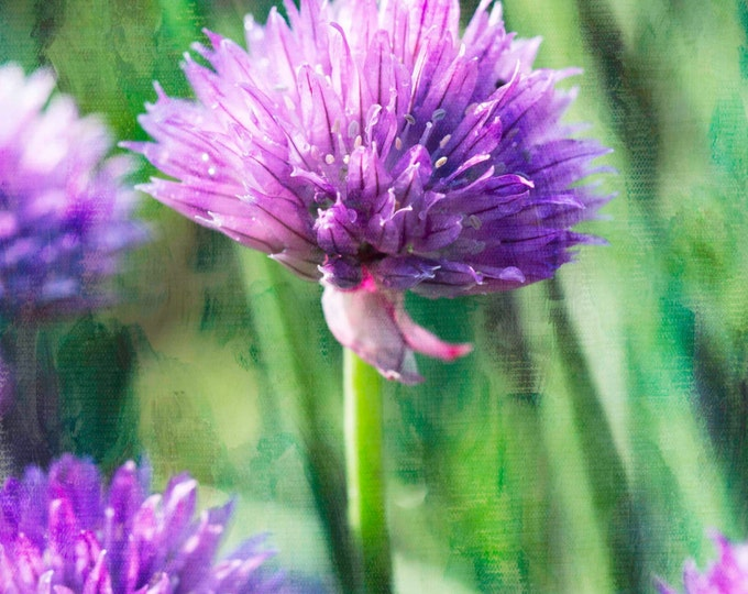 Chives, Photography, Food Photography, Botanical, Garden, Nature Photography