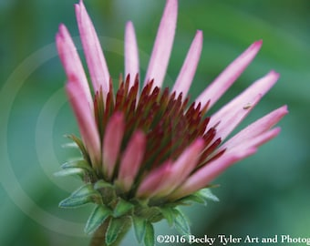 Pink Cone Flower Fine Art Photo Print