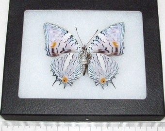 Real leopard peruvian baeotus japetus verso framed butterfly insect